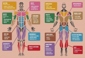 Developing Your Strength on the American Football Field Muscle Groups